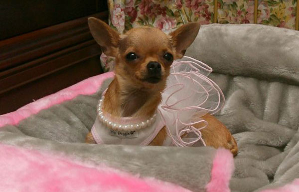 Conchita - Gail Posner's Chihuahua