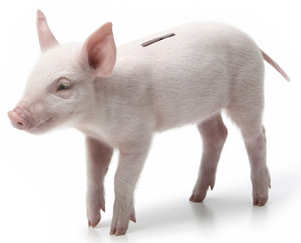 Piggy-bank-made-from-real-piglet-1
