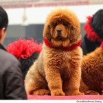 The World's Most Expensive Dog – Red Tibetan Mastiff Sells for $1.5 Million