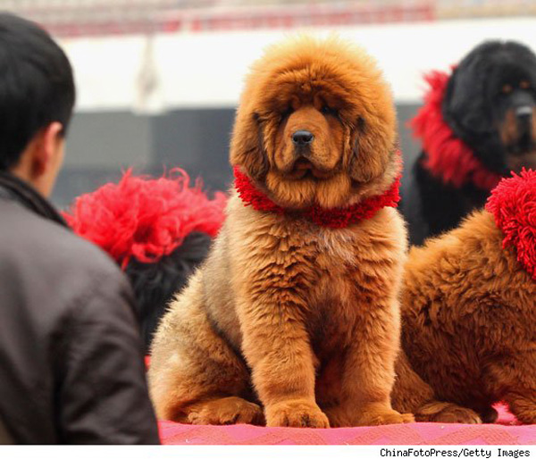 Puppy Diamond Dog Food >> The World's Most Expensive Dog - Red Tibetan Mastiff Sells ...