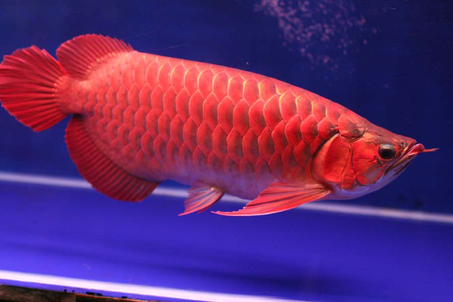 Red Dragon Flour Fish