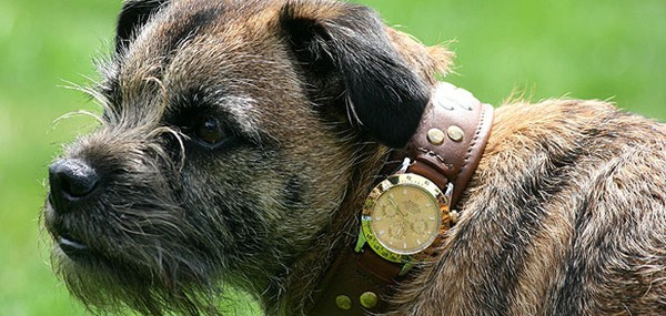Border Terrier Smike with his Rolex Dog Collar