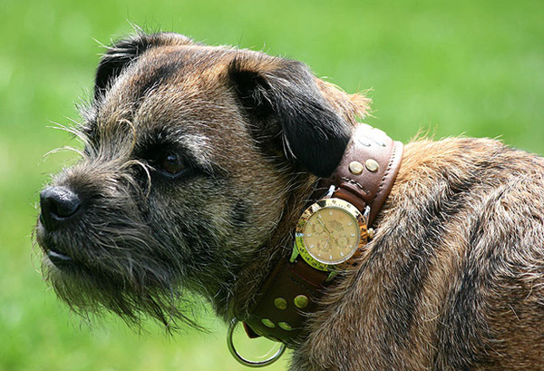 Rolex Dog Collar As A Birthday Present