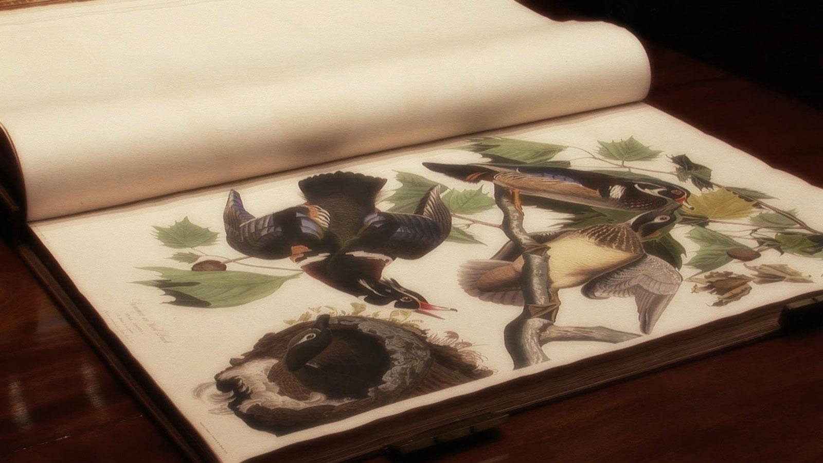 John James Drawings John James Audubon's The Birds