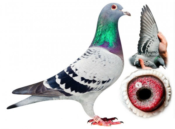 Dolce Vita or Special Blue - The World's Most Expensive Pigeon