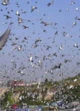 release-of-racing-pigeons