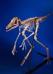 Cretaceous era Troodontidae - Bird Dinosaur skeleton