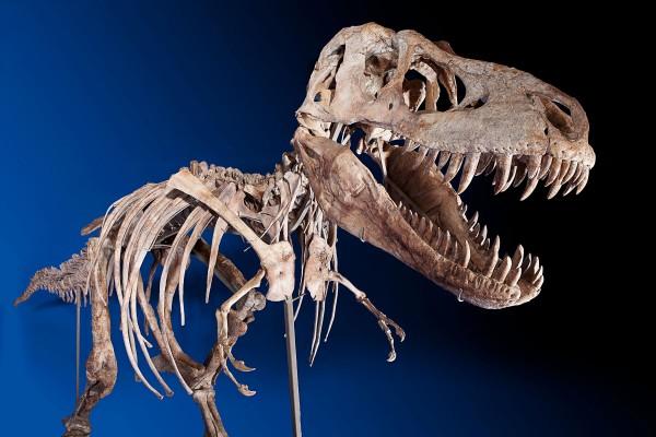 Eight-foot tall, 24-foot long, 75% Complete Tyrannosaurus Bataar