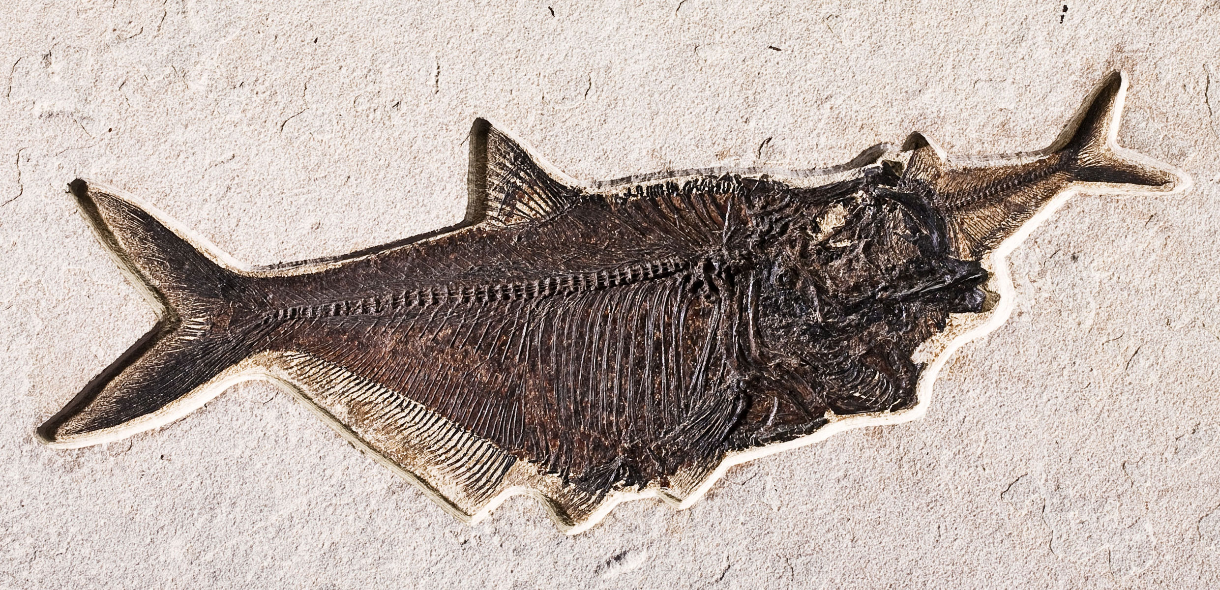 Fossil-Fish-Aspiration-Diplomystus-dentatus Va Form Example on af forms, veterans administration forms, gp forms, qa forms, pf forms, printable dental charting forms, qc forms, appeal property forms, usda rd forms, hud forms,