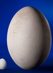 Great Elephant Bird Egg: Aepyornis maximus