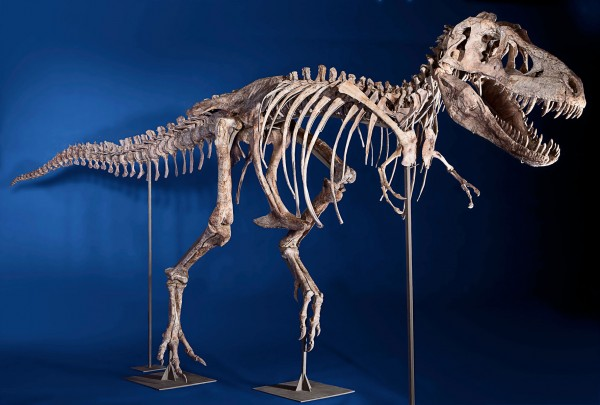 Eight foot tall, 24 foot long, 75% complete Tyrannosaurus Bataar
