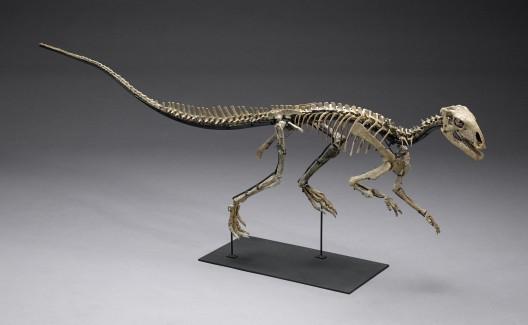 Juvenile Tenontosaurus Tilletti Skeleton