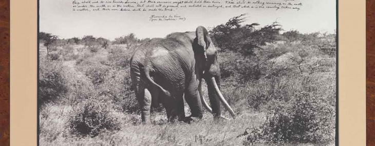PETER BEARD (B. 1938) - Marsabit's last remaining large Tusker