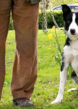 Bob, World's Most Expensive Sheepdog again Comes from Skipton, U.K.