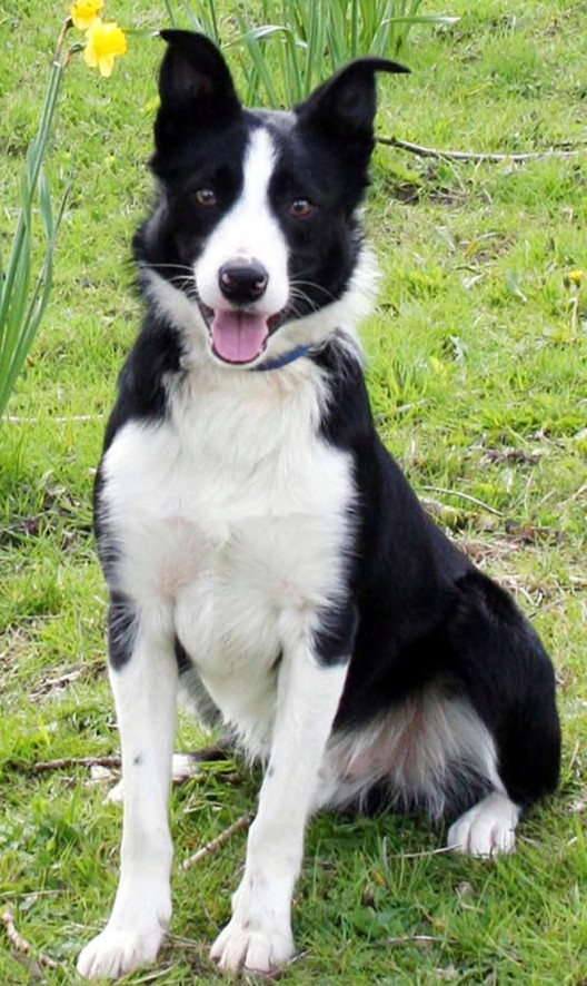 Bob, a 15-month-old black and white male Border collie Dog