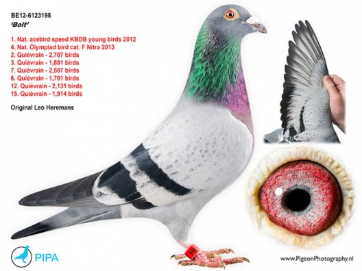 Bolt - the fastest and most expensive racing pigeon