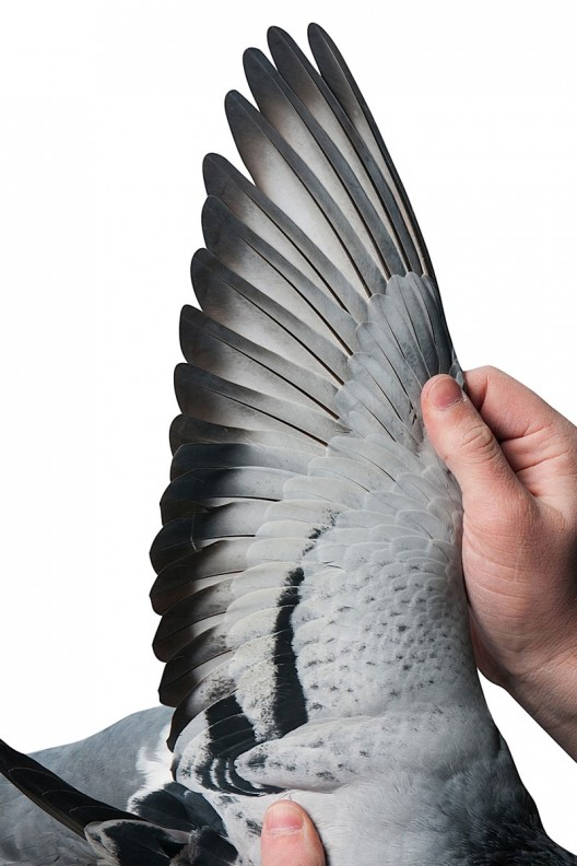 A Belgian racing pigeon called Bolt has been sold to a Chinese businessman for a world record price of €310,000