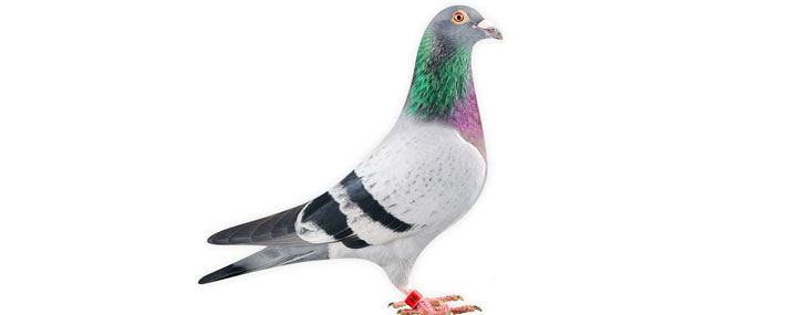 Fastest Racing Pigeon, Bolt Sold for $400,000