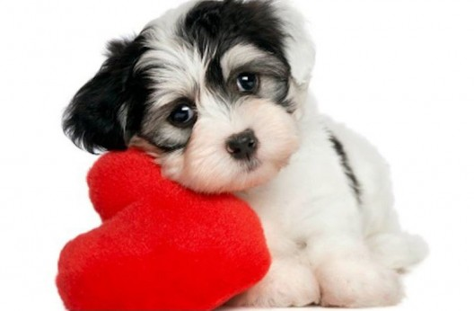 """""""Canine Be Mine"""" Valentine's Day Package For Your Poodle From Topnotch Resort"""