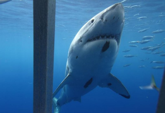 Isla Guadalupe White Shark Cage Diving