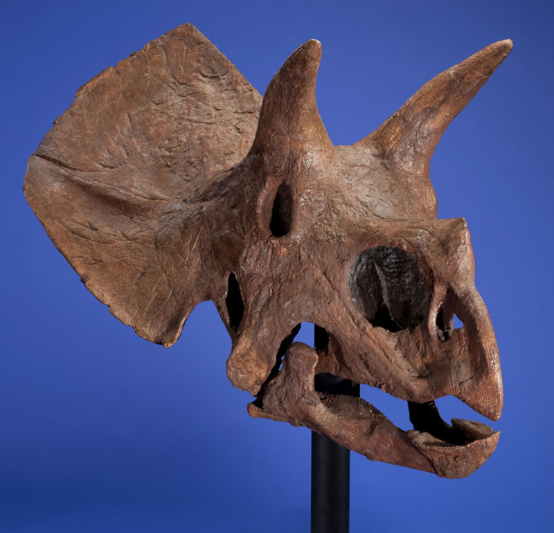 Triceratops Skull Could Fetch $200,000 At Heritage Auctions