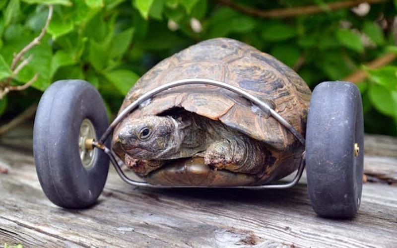 meet mrs t turbo turtle on wheels extravaganzi