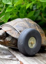 Meet Mrs. T, Turbo Turtle On Wheels