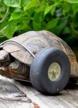 Meet Mrs. T, Turbo Turtle On Wheels