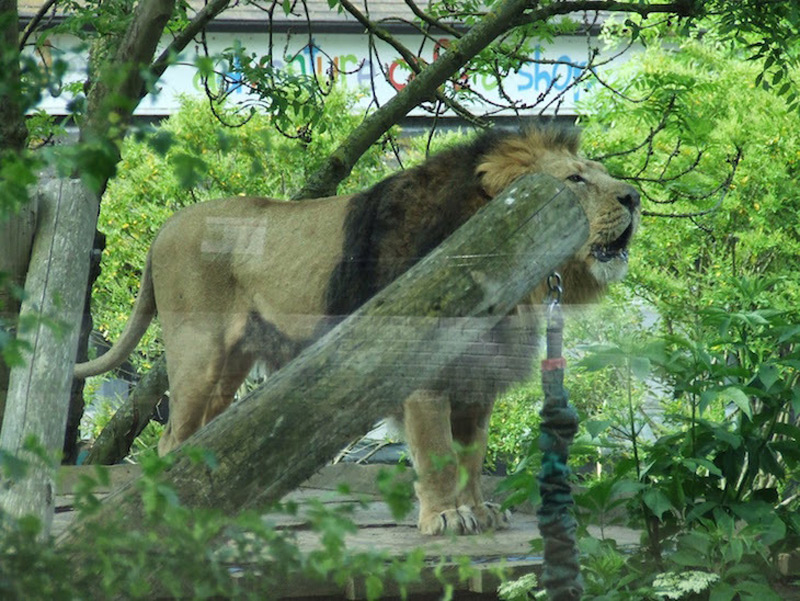 Spend Night With Lions At London Zoo