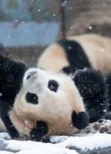 €28.000 For Cuddling Baby Pandas