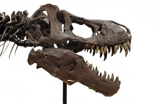 Fossilized T-Rex Skeleton Can Be Yours For $2.39 Million